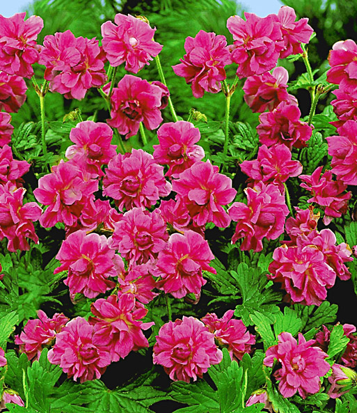 Winterharde geranium 'Red Burcs Double®'