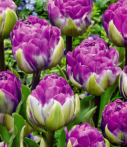 Tulp 'Blue Wow'