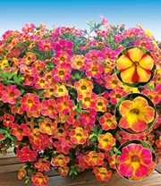 Hanging basket mix 'Sunny Days'