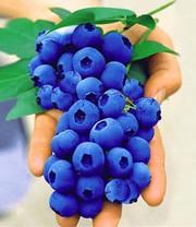 trauben heidelbeere reka blue 1a qualit t baldur garten. Black Bedroom Furniture Sets. Home Design Ideas