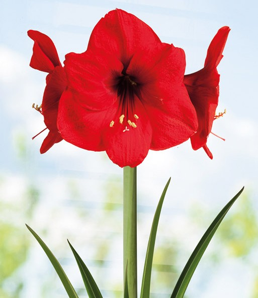 Amaryllis in een pot 'Red Lion'
