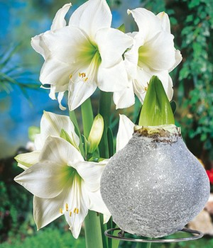 Witte Amaryllis met wax 'Touch of Glamour' kristal-grijs