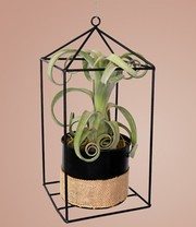 Tillandsia 'Curly' incl. sierpot met decoratief