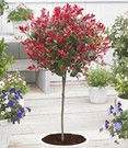 Groenblijvende Photinia stammetje 'Little red Robin'