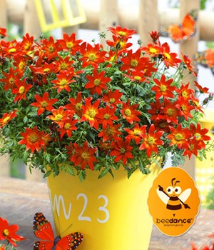 Bidens 'Beedance®' 'Painted Red'