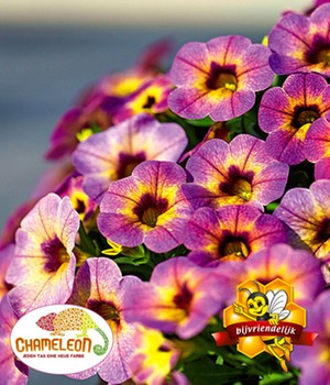 Calibrachoa 'Chameleon Blueberry Scone'