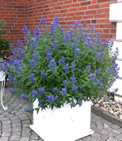 sierstruik 39 blue balloon 39 potplanten bij baldur nederland. Black Bedroom Furniture Sets. Home Design Ideas