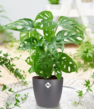 Monstera 'Monkey Leaf' incl. Elho® sierpot 'antraciet'