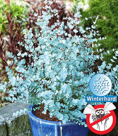 Vaste Planten In Pot Buiten Winterhard.Winterharde Eucalyptus Azura