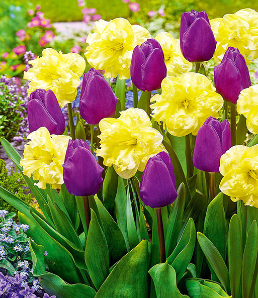 Tulpen & Narcissen perfecte partners 'Opposite Attraction'