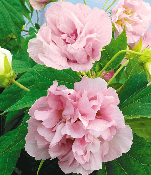 Gevulde Hibiscus 'Double Impression' Royal-Pink