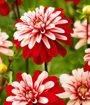 Dahlia 'Pacific Red White'