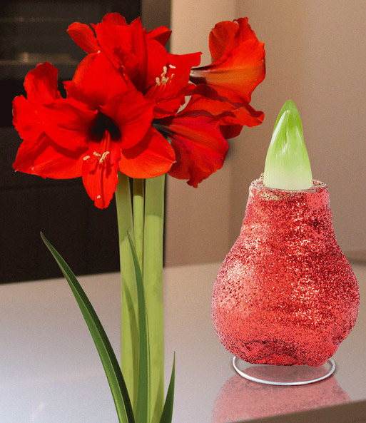 Wax Amaryllis 'Touch of magic' rood
