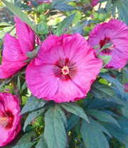 Tuin-hibiscus 'Summerific®' 'Berry Awesome'
