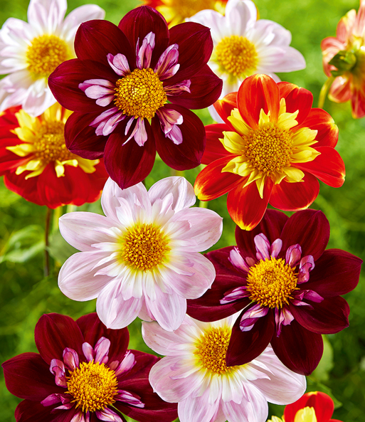 Dahlia mix 'bijen magic'