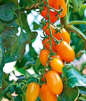 Dadel tomaten 'Orange Fizz' F1