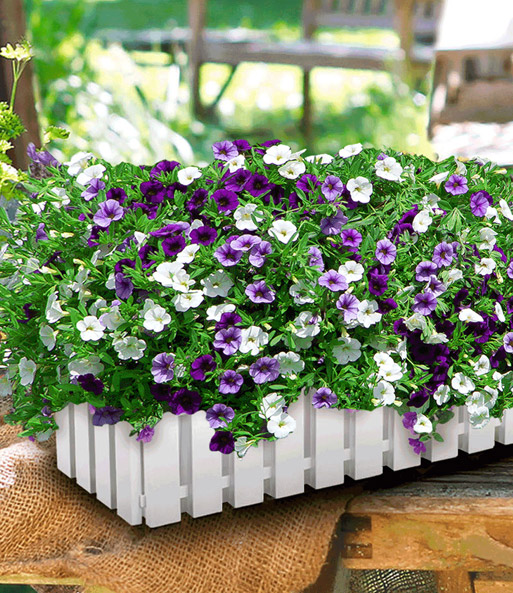 Collectie 2 Calibrachoa Trixi® 'Shades of Blue' & 1 Landhuis bloembak 'wit'