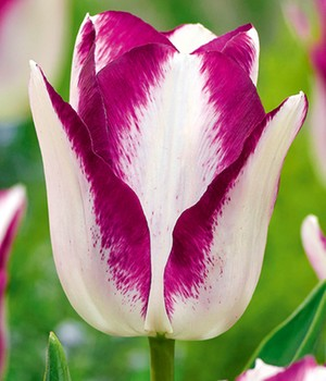 Tulp 'Triumph Affaire'