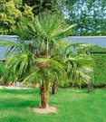 Washingtonpalm