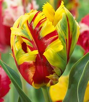 Tulp 'Texas Flame'