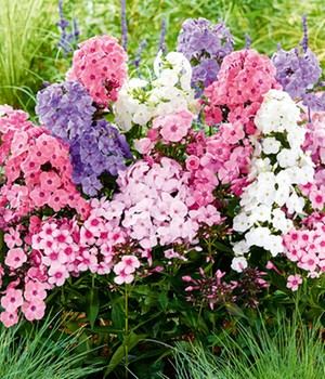 Phlox Mix 'Sweet Summer'