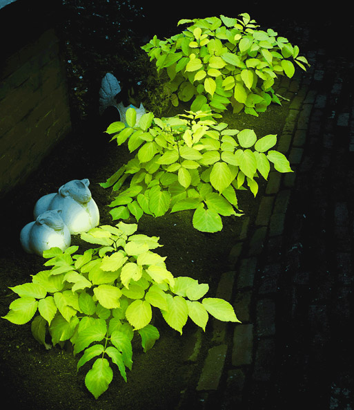 Aralia 'Express Light'