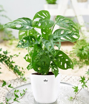 Monstera 'Monkey Leaf' incl. Elho® sierpot 'wit'