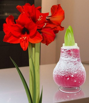 Wax Amaryllis 'Touch of snow' rood