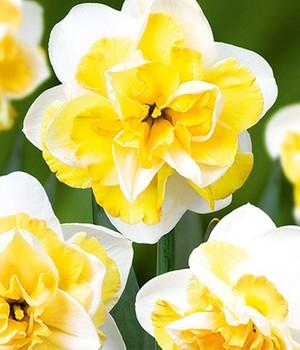 Narcis 'Double Golden Pearl'